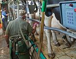 Milchbauer bei einer Kuh
