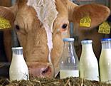Milchkuh steht vor Milchflaschen