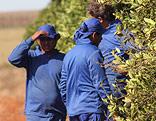 Arbeiter auf einer Orangenplantage